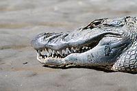 Caim&aacute;n blanco (Caiman crocodilus). Especie de reptil carn&iacute;voro que habita los diferentes tipos de cursos de agua dulce, ci&eacute;nagas y pantanos en el sur de M&eacute;xico, Centroam&eacute;rica y el noroeste de Am&eacute;rica del Sur. <br /> <br /> Los machos llegan a medir entre 1,8 y 2,5 m de largo, y las hembras 1,4 m. Se alimentan de crust&aacute;ceos, peces, anfibios, reptiles, aves y mam&iacute;feros grandes y peque&ntilde;os.<br /> <br /> &copy; Alejandro Balaguer/ Fundaci&oacute;n Albatros Media.