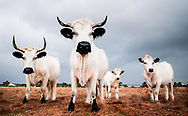 Four White Park cows in a field in Western Australia captured by farming pr photogrpher Ioan Said Photography