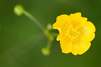 Buttercup, Ranunculus acris, Prypiat area, Belarus