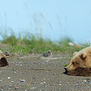 Coastal Brown bear cubs resting on beach;  Lake Clark Alaska .