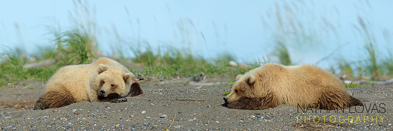 Coastal Brown bear cubs resting on beach;  Lake Clark Alaska .