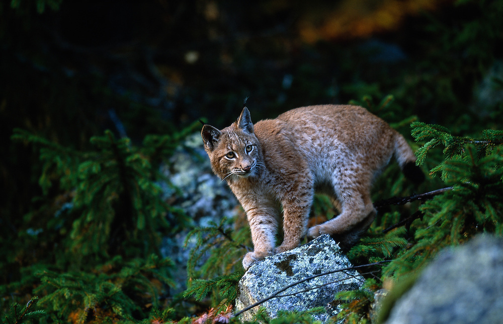Young European lynx standing on a rock in a spruce forest