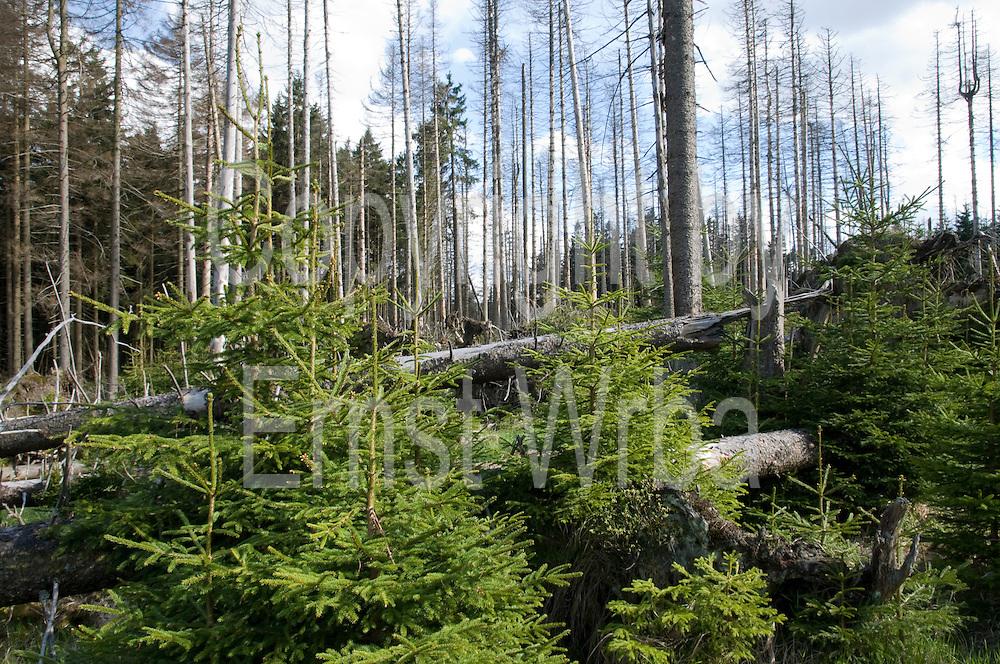 Lehrpfad Waldwandelweg bei Torfhaus, durch Borkenkäfer geschädigter Wald, Harz, Niedersachsen, Deutschland | nature trail Waldwandelweg near Torfhaus, Harz, Lower Saxony, Lower Saxony, Germany