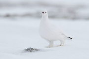 The Willow Ptarmigan (a.k.a Willow Grouse, Red Grouse, Lagopus Lagopus) is found extensively over the Arctic and sub-arctic regions of Europe, Siberia, Alaska and Canada. A member of the grouse subfamily, the willow ptarmigan has a marbled brown summer plumage, black tail and white legs. In winter the willow ptarmigans plumage becomes all white except for the black tail. This male willow ptarmigan (identifiable by the small red wattle above the eye) is eating berries on Fletcher Lake in Wapusk National Park in northern Manitoba, Canada.