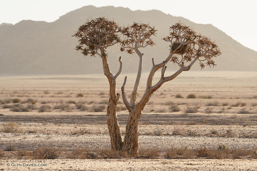 A solitary Quiver Tree bakes in afternoon sunlight in the middle of a vast desert landscape south the Orange River (the border between South Africa and Namibia)