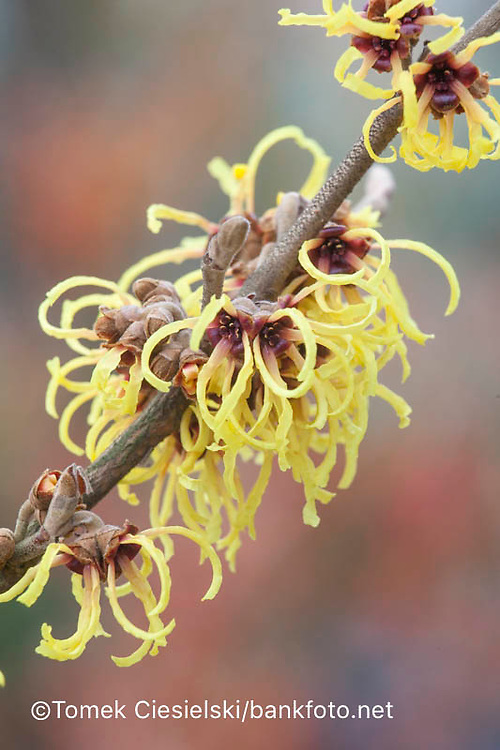 Hamamelis x intermedia `Angelly`