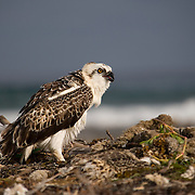 Osprey nesting on reef crest off of South Water Caye, Belize