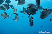 black triggerfish, black durgon, or humuhumu ele'ele, Melichthys niger, feeding in midwater, showing bright colors and patterns indicative of an excited state, Honokohau, Kona, Hawaii ( Central Pacific Ocean )
