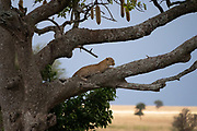 Leopard (Panthera pardus) on a tree. Photographed at Serengeti National Park, Tanzania