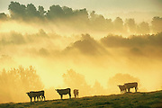 Beef cattle at sunset