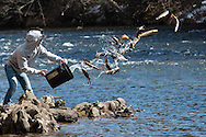 A volunteer tosses trout from the Department of Environmental Conservation into the Neversink River  in Myers Grove, New York, on the opening day of trout season in New York State. The DEC stocked 5,450 yearling brown trout and 550 2-year-old brown trout in the Neversink.