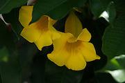 Yellow Amanda 2