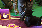 Sadie the Scottish Terrier won the Best in Show at the 2010 Westminster Club held at Madison Square Garden on February 16, 2010 in New York City. ..Sadie the Scottish Terrier is owned by Amelia Musser and bred by Mary O'Neal and Anstamm