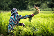 A local woman farmer is removing excess water from plants while transplanting Rice in Nakhon Nayok, Thailand.