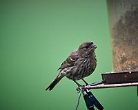 Female House Finch. Image taken with a Nikon D5 camera and 600 mm f/4 VR lens (ISO 1600, 600 mm, f/5.6, 1/400 sec).