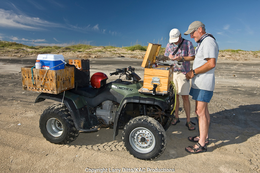 researchers with the Peregrin Fund, trapping, banding and measuring peregrine falcons in the autumn at South Padre Island, Texas to learn about populations, age, reproduction, etc.