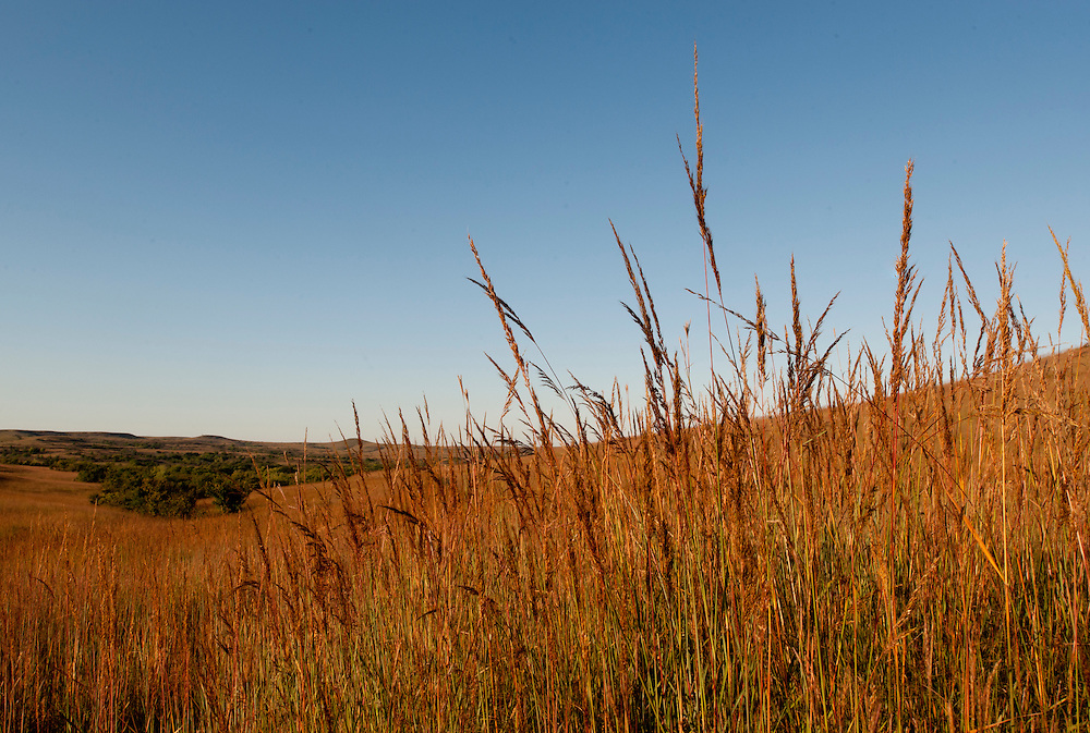 Indian Grass at the Konza Prairie in the Flint Hills of Kansas