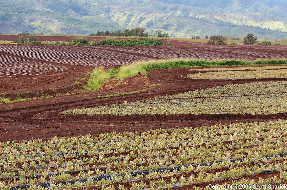 The pineappple crop is growing in central Oahu in Hawaii.