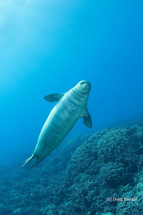 Hawaiian monk seal, Monachus schauinslandi, 2.5 year old male, Critically Endangered endemic species, Kealekekua Bay, Kona, Hawaii Island ( the Big Island ) Hawaiian Islands ( Central Pacific Ocean )