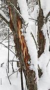 The moose (elk) eat what they can find in the harsh, norwegian winter. Elg som har spist barken av grøor og selje. Winter in the forest, norwegian woodlands.