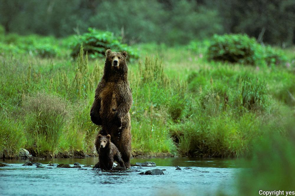 Alaskan Brown bears with cubs