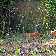 The endangered Asian Wild Dog or Dhole (Cuon alpinus) at Khao Yai National Park, Thailand..