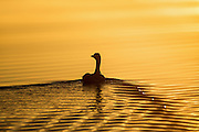 Grey Goose swimming in golden sea, late summers night at sunset | Grågås som svømmer i gyllen sjø, sent en sommerkveld ved solnedgang