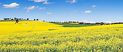 a field of flowering canola crop on rolling hills under blue sky and cumulus cloud near Junee, New South Wales, Australia.