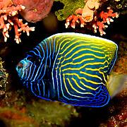 Emperor Angelfish inhabit reefs. Picture taken Alor, Indonesia.