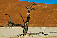 Dry tree in a desert landscape, Namibia, Africa. White sand with ochre colored hills in background against a clear blue sky. Nature photography wall art. Fine art photography prints.