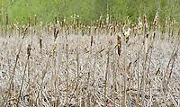 Cat tails in Juanita Bay Park, Kirkland, WA