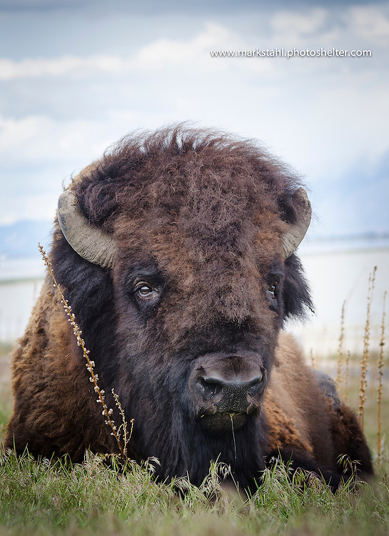 Saltlake City, UT, USA – April27, 2016: One of Antelope Island's Buffalo rest on the open range of the Island  that is a Utah State Park. A member of the  a semi–free-ranging buffalo hurd of American bison that has been on the island since 1893.Photo/Mark Stahl