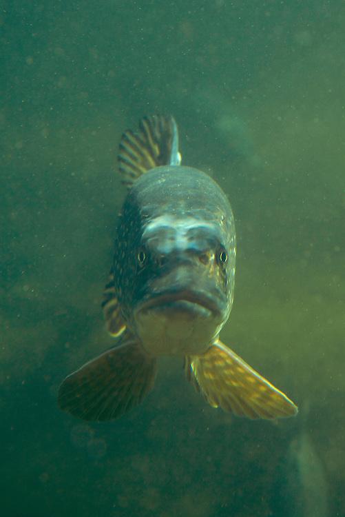 Pike (Esox lucius), in fishpond, Switzerland<br /> Hecht (Esox lucius), in Fischteich, Schweiz<br /> Brochet (Esox lucius), en &eacute;tang de poisson, Suisse<br /> 25-02-2009