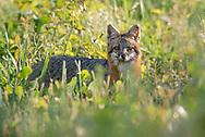 Gray fox (Urocyon cinereoargenteus) - Duck, North Carolina