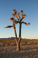 A Lone Joshua Tree in Nevada absorbs the warm light of sunset before the cold of desert night sets in.