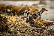 Pair of ruddy turnstone sandpipers (Arenaria interpres) in Biscayne National Park, Florida.