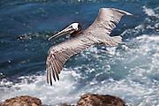 Brown Pelican, La Jolla, North America
