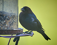 Male Brown-headed Cowbird. Image taken with a Nikon D5 camera and 600 mm f/4 VR lens (ISO 1600, 600 mm, f/5.6, 1/1250 sec)