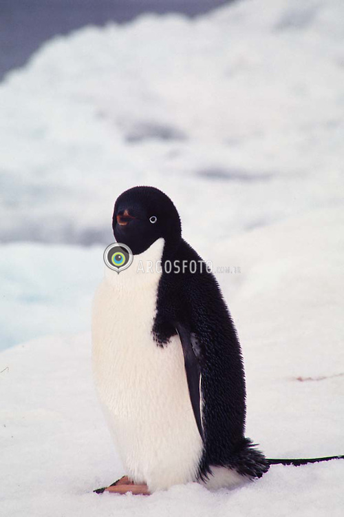 O Pinguim de Adelia (Pygoscelis adeliae) eh uma especie de pinguim que habita a Antartida. Eh uma das unicas especies que nidificam neste continente./ The Adelie Penguin (Pygoscelis adeliae) is a type of penguin common along the entire Antarctic coast and nearby islands.