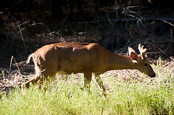 Deer, Yosemite National Park, California, USA.  Photo copyright Lee Foster.  Photo # california120869