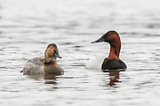 Canvasback ducks swimming