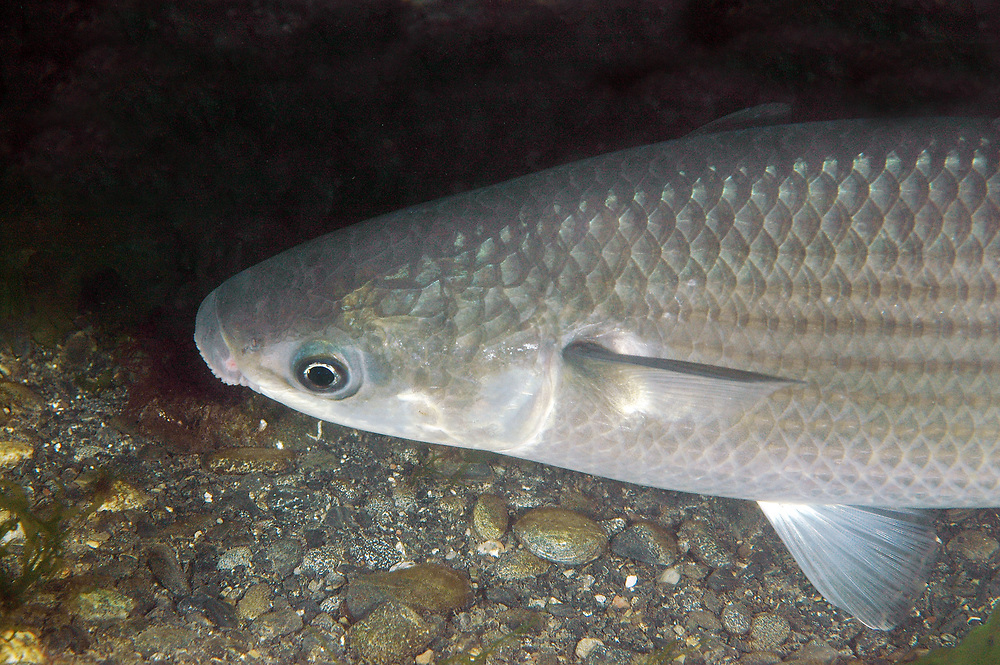 Thick-lipped grey mullet (Chelon labrosus). Location : Cornwall, England