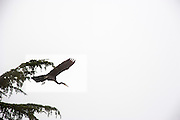 A heron above the fog filled Puget Sound.