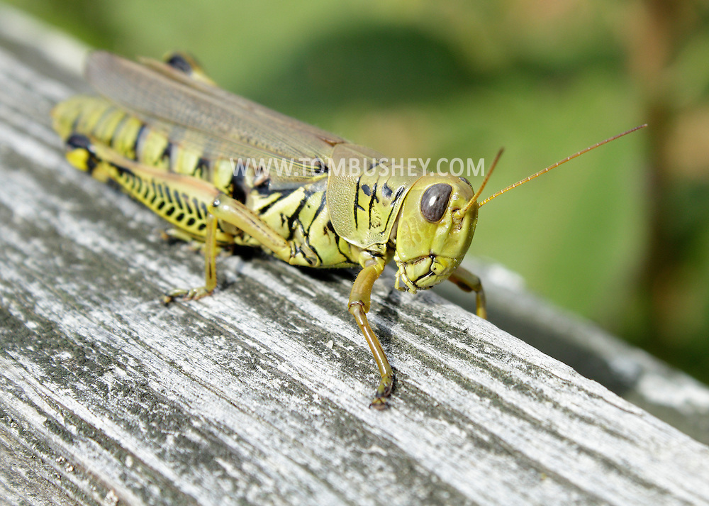 Chetser, New York - A differential grasshopper (Melanoplus differentialis) on Sept. 22, 2012.