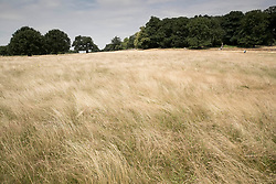 © Licensed to London News Pictures. 04/07/2018. London, UK. Scorched, dry grass dominates the landscape in Richmond Park as the heatwave continues. Photo credit: Peter Macdiarmid/LNP