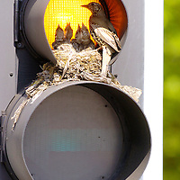 INVOICE ALL USE<br /> <br /> A thrush tends to her chicks at a nest built on traffic lights on Eglinton Street.<br /> <br /> MANDATORY BYLINE<br /> Lenny Warren / Warren Media<br /> <br /> 07860 830050<br /> 01355 229700<br /> lenny@warrenmedia.co.uk<br /> www.warrenmedia.co.uk