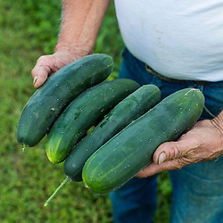 Harvesting cucumbers in Epping, New Hampshire.