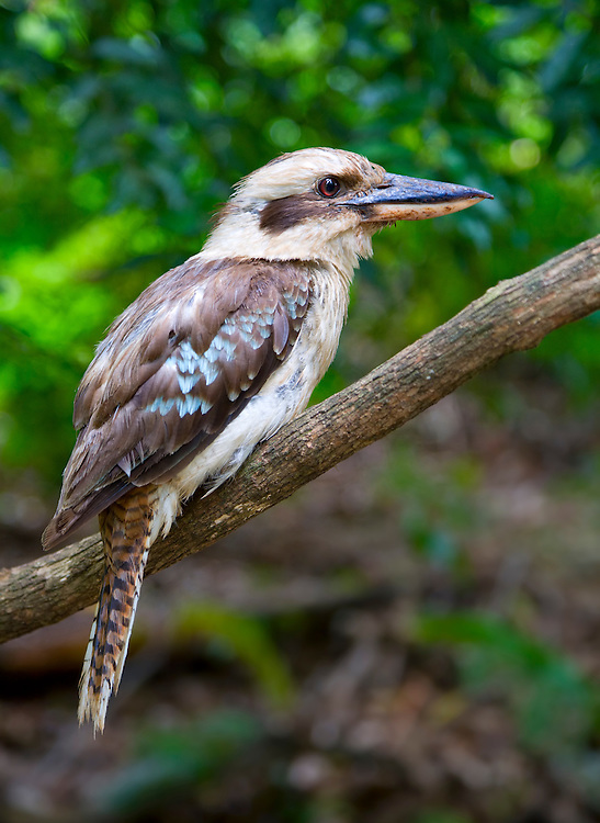 This Laughing kookaburra was posing beautifully just waiting to be photographed.