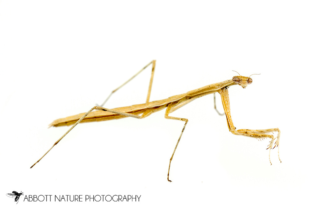 Slim Mexican Mantis (Bactromantis mexicana) - nymph<br /> captive reared individual<br /> 15-Feb-2017<br /> J.C. Abbott &amp; K.K. Abbott