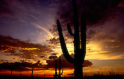 Saguaro cactus tower over the desert in Saguaro National Park West in the Sonoran Desert in Tucson, Arizona, USA.